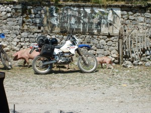Albania Motorcycle Pigs